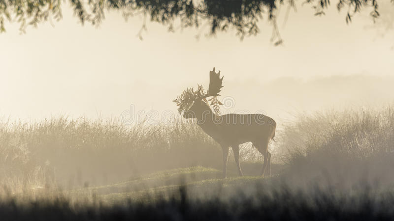 Fallow deer in the mist. Fallow deer buck in the morning mist with ferns adorning its' antlers stock photos