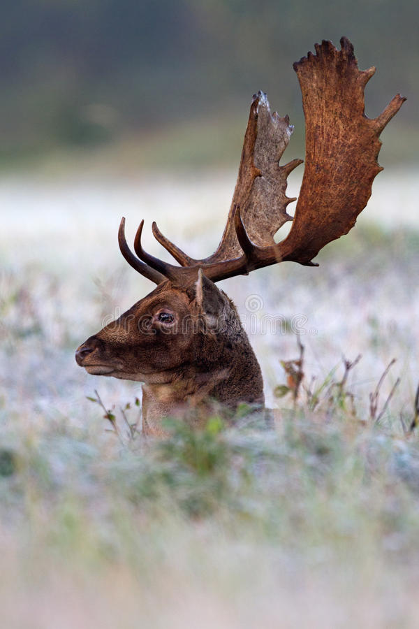 Fallow deer in the moring frost royalty free stock images