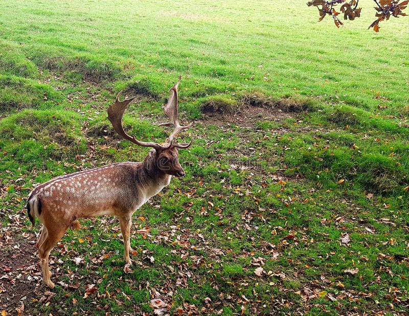 Fallow deer at Prideaux Place is thought to be one of the oldest park herds in the country. The herd of fallow deer at Prideaux Place is thought to be one of the royalty free stock photography