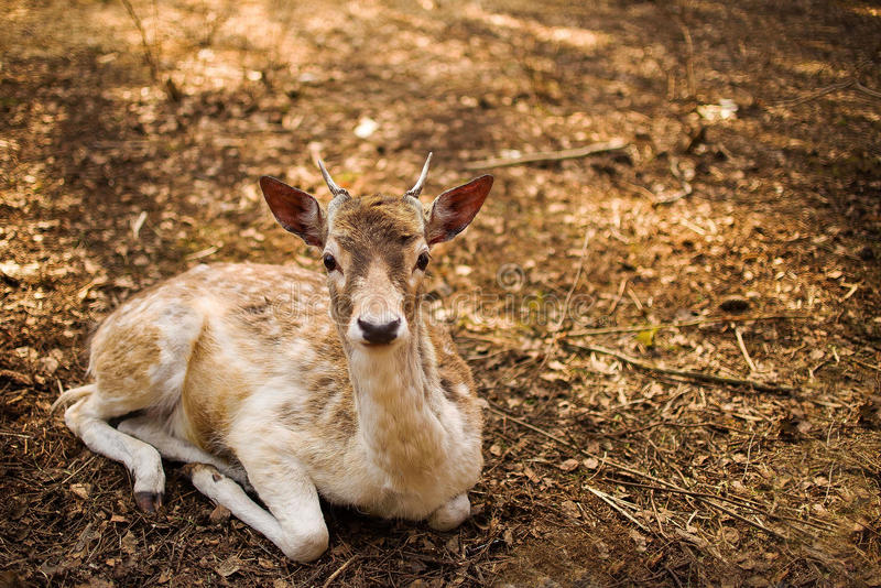 Fallow Deer. Deer resting in the forest stock photography