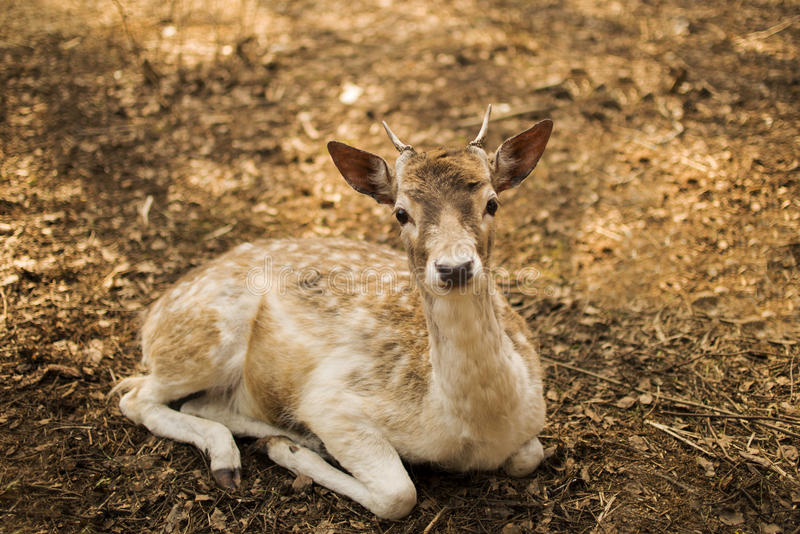 Fallow Deer. Deer resting in the forest royalty free stock images