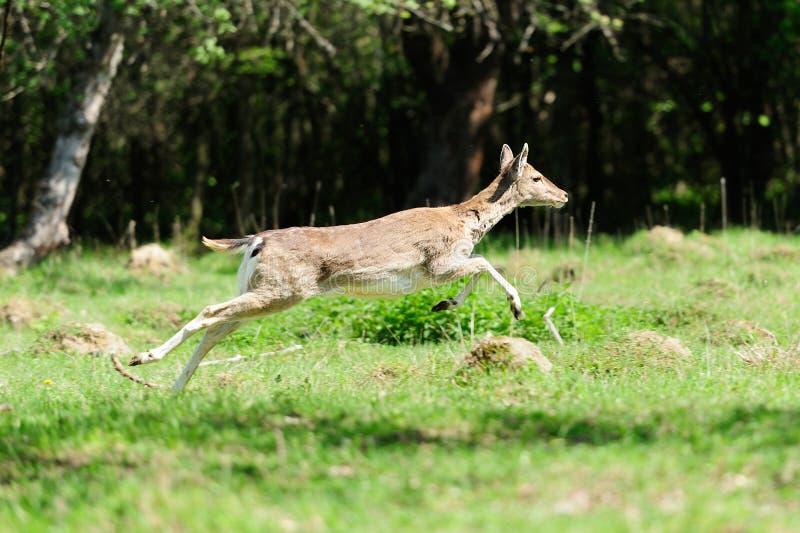 Fallow deer royalty free stock photography