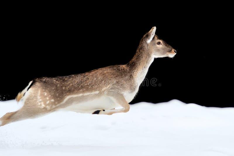 Fallow deer royalty free stock images