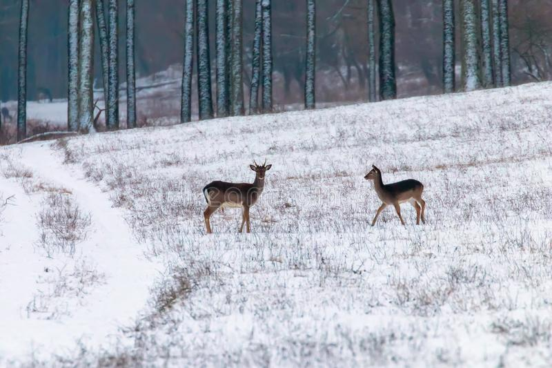 Fallow deer snow forest landscape Dama Dama. Wildlife royalty free stock photo