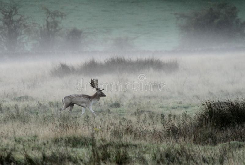 Fallow deer stag in Autumn fog. A fallow deer stag in autumn fog and mist stock photography