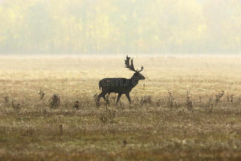 Fallow deer stag in beautiful autumn light royalty free stock photos