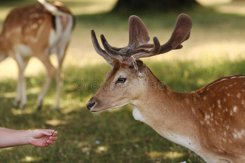 Fallow Deer Stag Head. A wild fallow deer stag being offered some grass by a human on a sunny summers day. This was taken in Bushy Park in London. Side view of stock images
