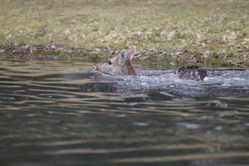 Fallow deer in water stock images