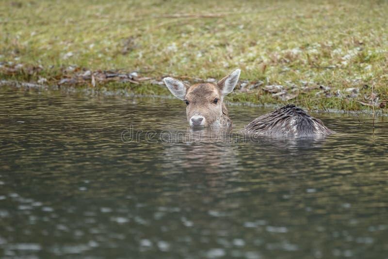 Fallow deer in water royalty free stock image