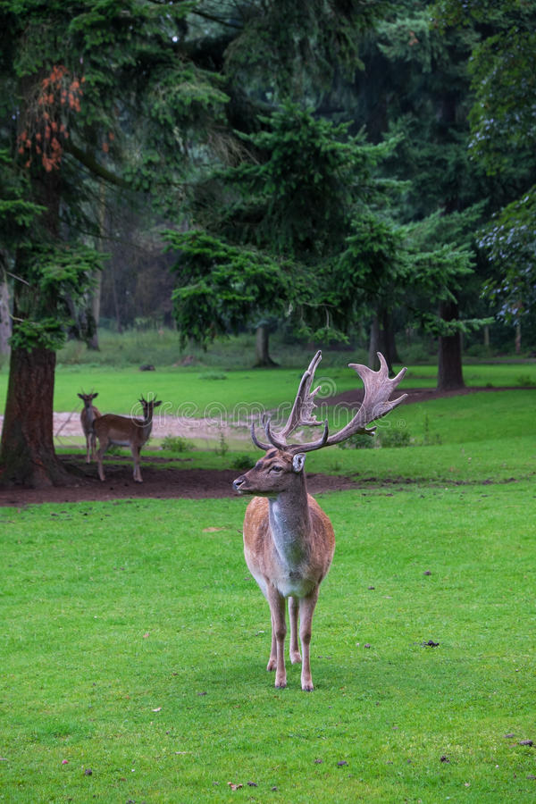 Fallow deer. With two youngsters in the background under a pine tree royalty free stock photography