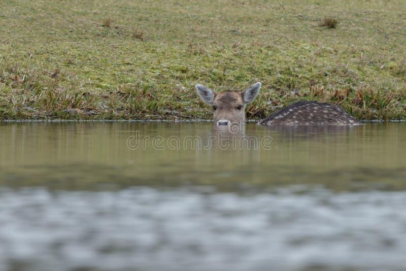 Fallow deer in water stock photos