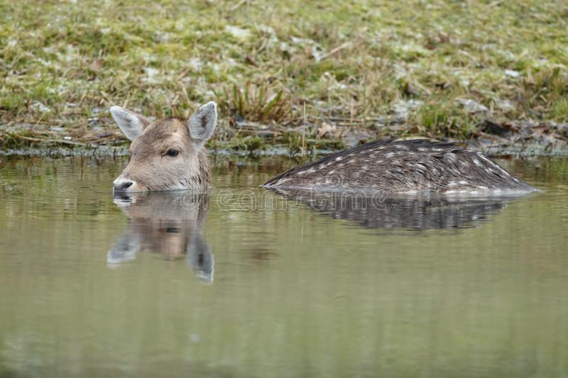 Fallow deer in water royalty free stock photo