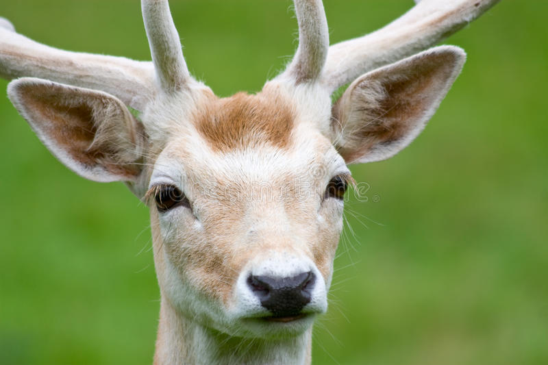 Download Fallow Deer In The Wilderness Stock Image - Image of cervus, dama: 16193433
