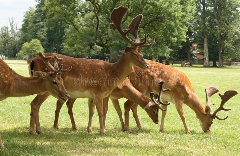 Fallow deers. Group of standing fallow deers in park stock images