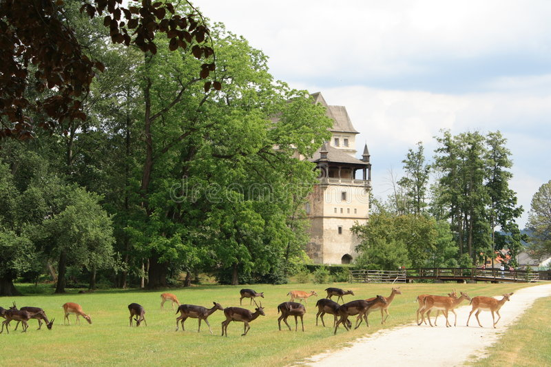 Fallow deers and Blatna castle. Fallow deers crossing the path, Blatna castle on background royalty free stock image