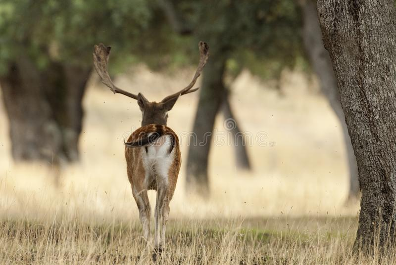Fallow Deers, Dama dama, Spain. Backwards royalty free stock photo