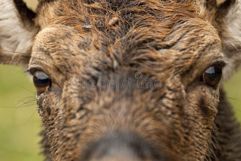 Fallow Deers, Dama dama, Spain. Close-up of eyes royalty free stock photography