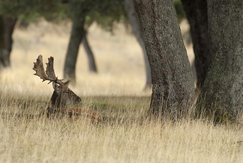 Fallow Deers, Dama dama, Spain. Lying among the grass stock photography