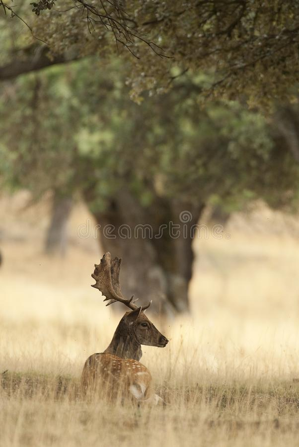 Fallow Deers, Dama dama, Spain. Lying among the grass stock image