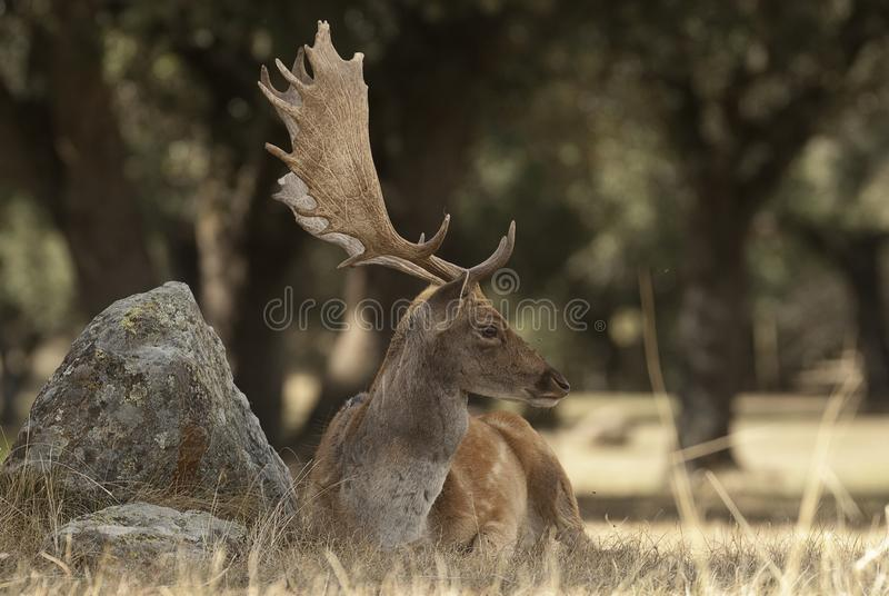 Fallow Deers, Dama dama, Spain. Male lying on the grass stock photo