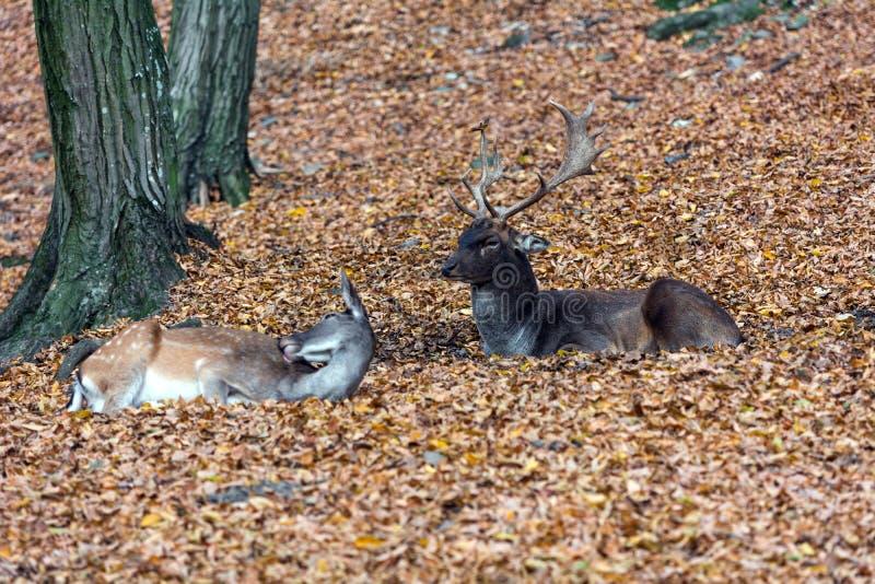 Fallow deers royalty free stock photos