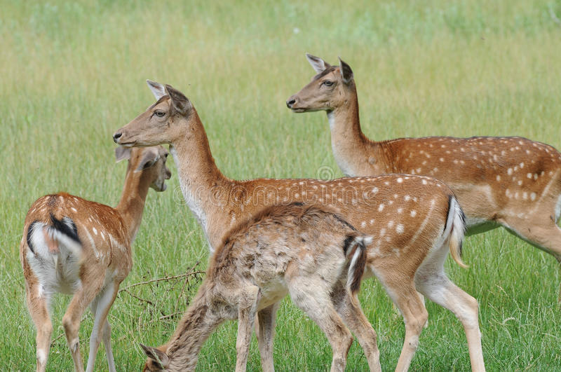 Fallow deers. A herd of fallow deers standing in the meadow looking for forage stock images