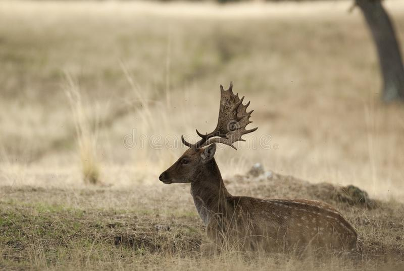 Fallow Deers, Dama dama, Spain. Fallow Deers lying on the floor, Dama dama, Spain stock photos