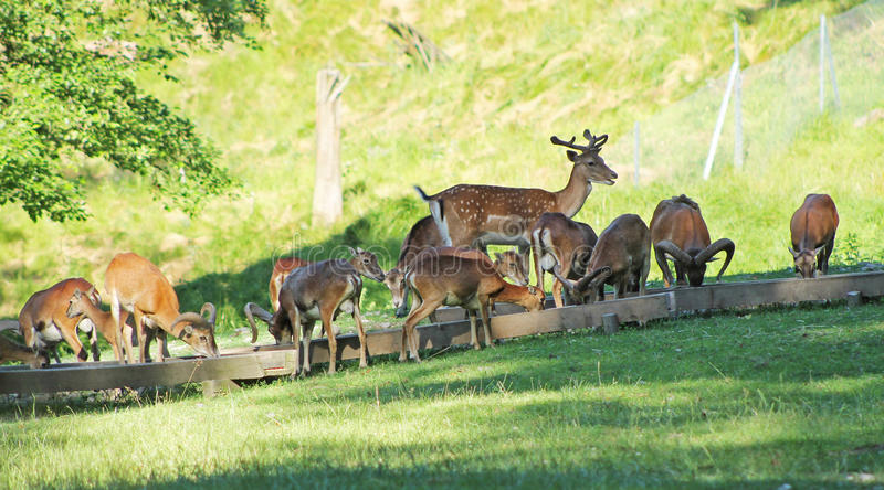 Fallow deers and mouflons royalty free stock images