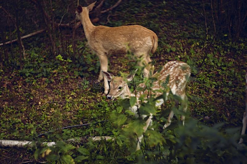Fallow deers in the summer forest. Two fallow deers staying and eating in the summer forest royalty free stock photos
