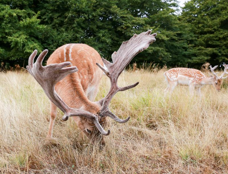 Two fallow deers were eating grass. The fallow deers were grazing in the Richmond park in the morning royalty free stock photography