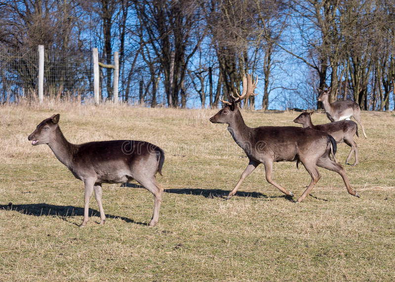 Fallow-deers. In the wild stock images