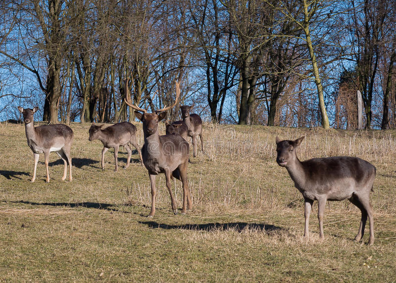 Fallow-deers. In the wild stock photos