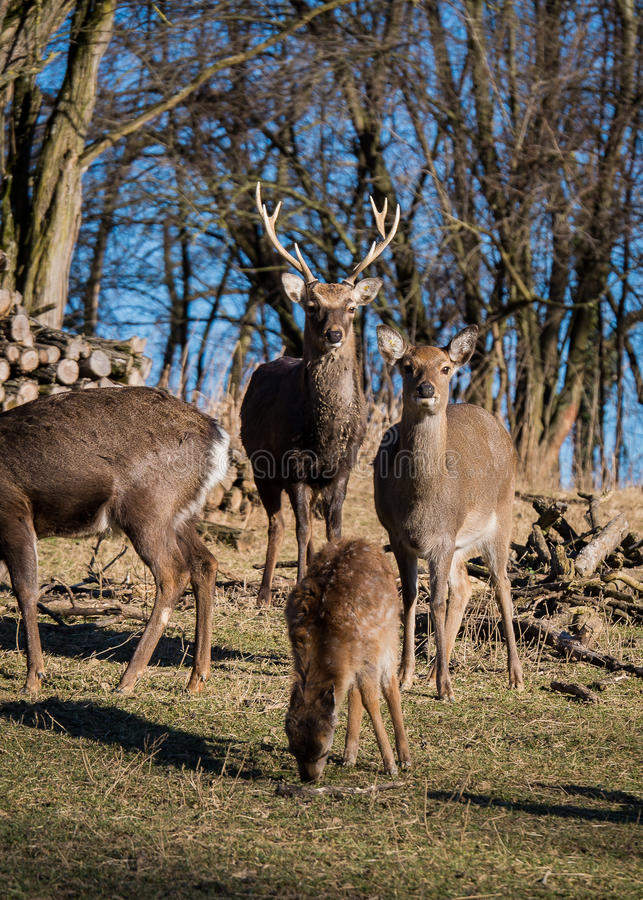 Fallow-deers. In the wild stock photography
