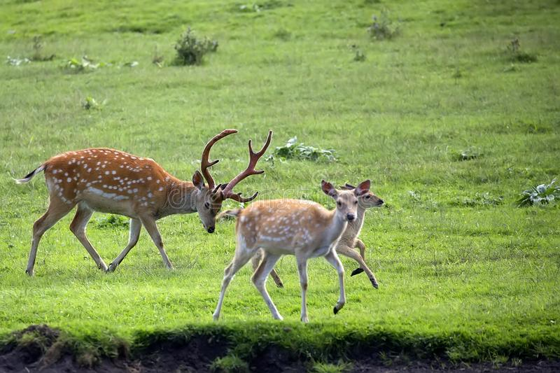 Fallow deers in the wild. In a clearing royalty free stock photo