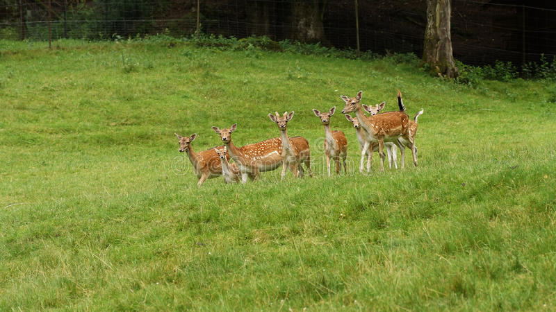 Fallow deers. In the wild in a clearing royalty free stock image
