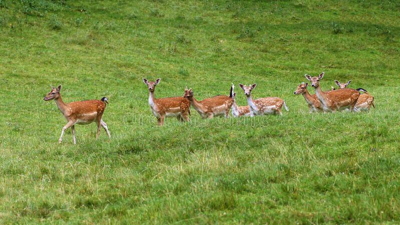 Fallow deers. In the wild in a clearing royalty free stock images