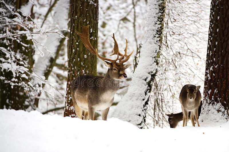 Fallow deers in the wild. In the forest royalty free stock photos