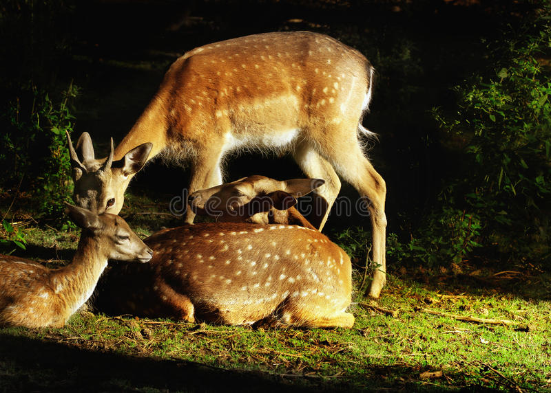 Fallow Deers. Young fallow deers ( Dama-dama - cervidae) in forest by sunrise royalty free stock images