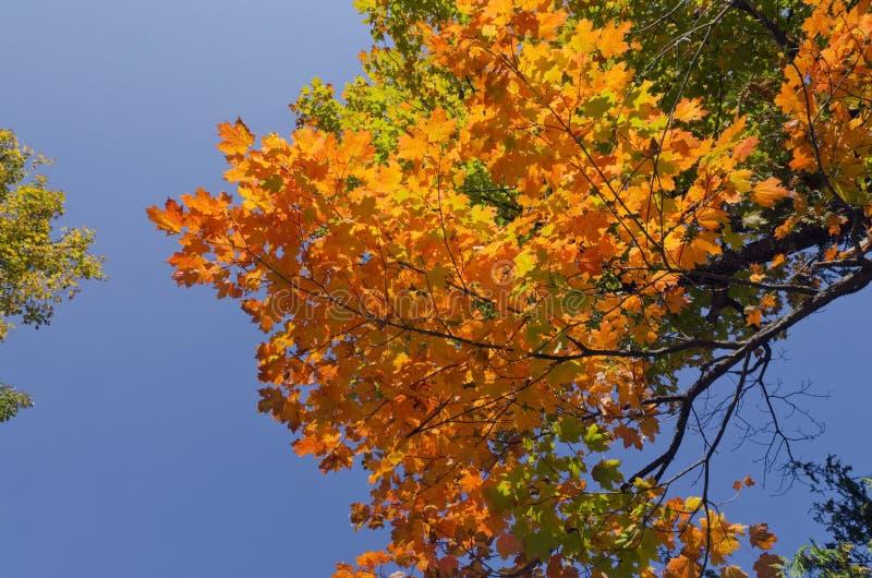 Falls colorful tree stock image