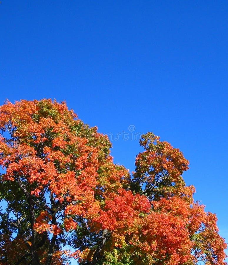 Download Falltree fotografering för bildbyråer. Bild av leaves, orange - 31901