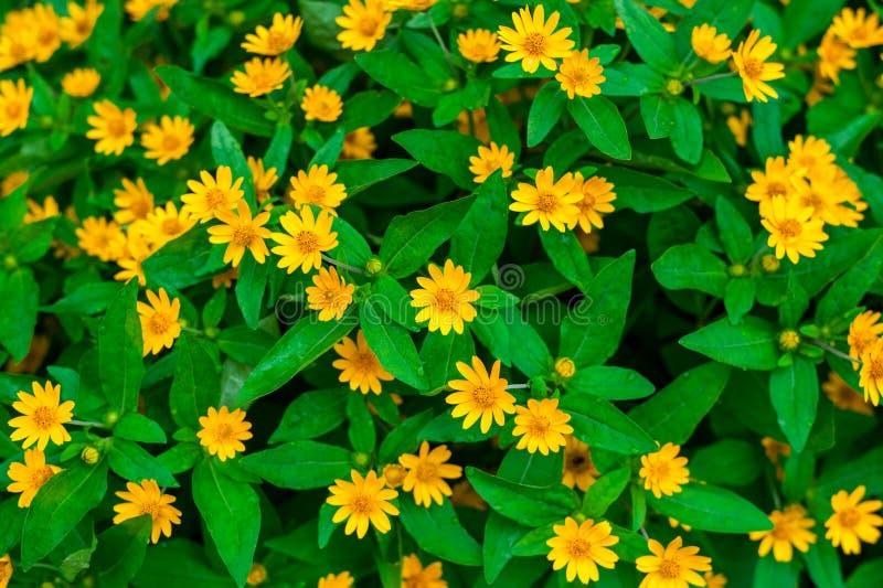 Falsche Sonnenblume lizenzfreie stockfotografie