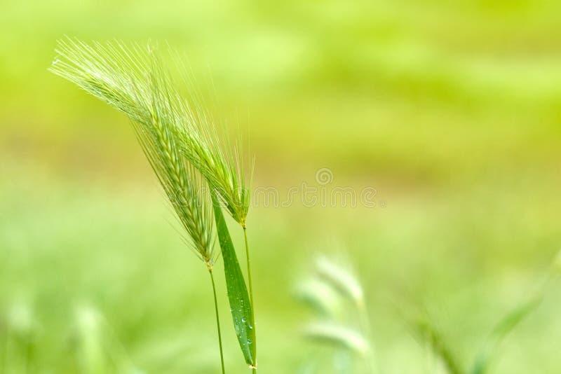 Download False Barley stock photo. Image of murinum, flora, natural - 31174654