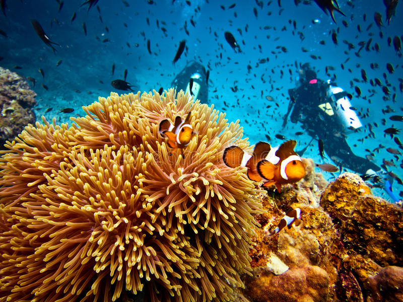 False Clown Fish and Scuba Divers stock photos