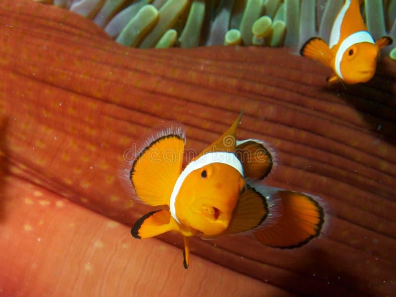 False Clown Fish with Tongue Biter Isopod stock image