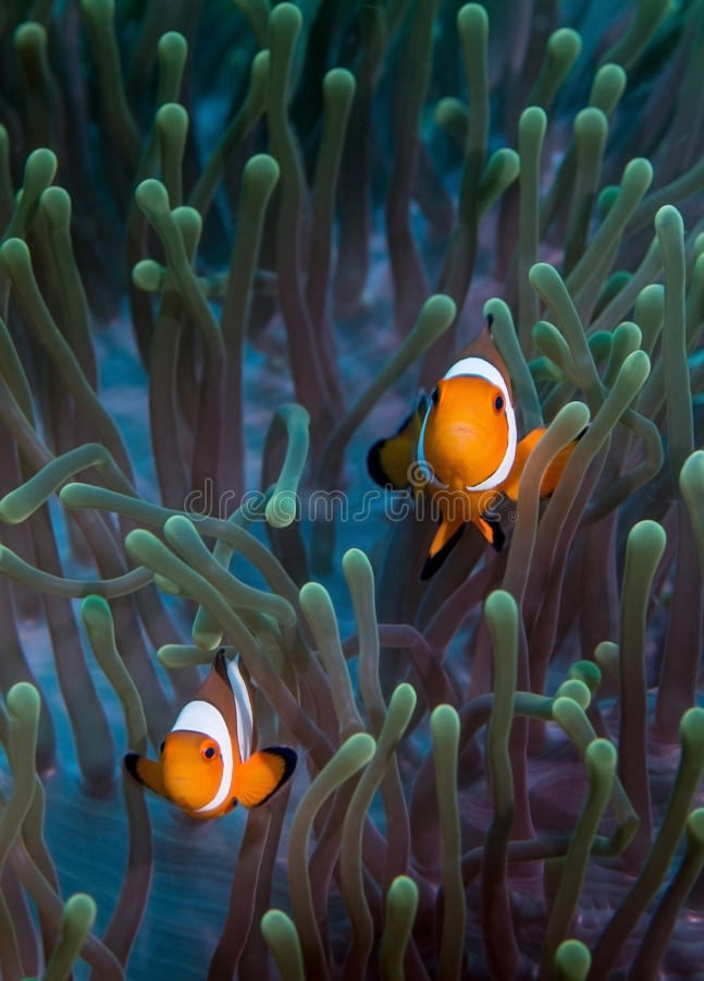 Free False Clownfish On Anemone Stock Images - 40702894