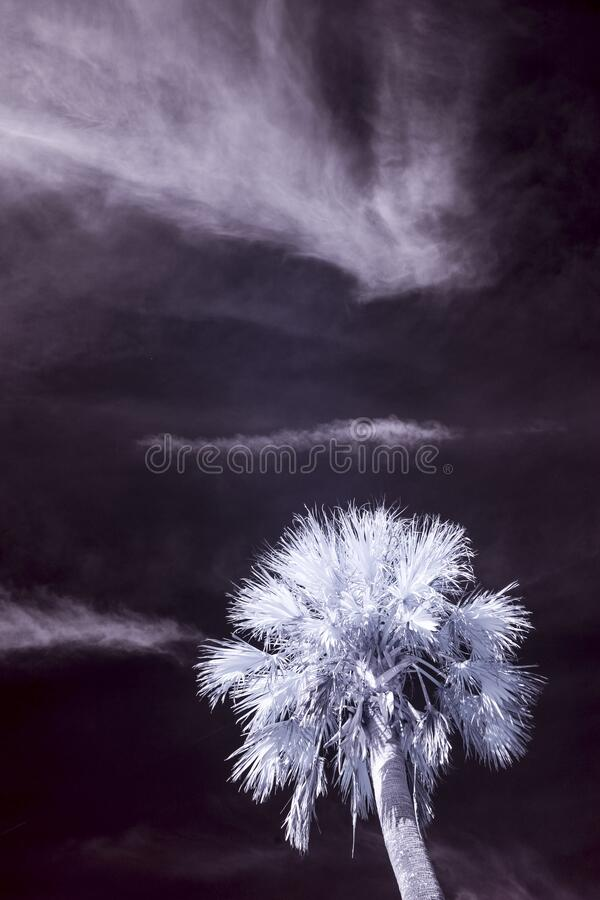False color infrared photograph of palm tree and sky royalty free stock photos