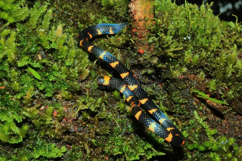 False coral snake, micrurus narduccii, coralillas with black orange pattern sliding down from a trunk covered in moss stock photos