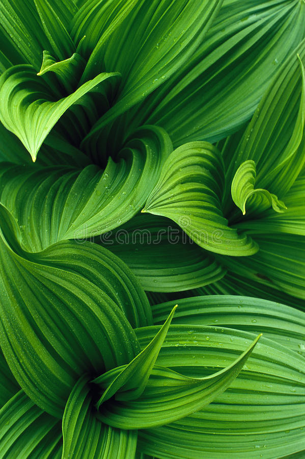 False Hellebore with dew royalty free stock images