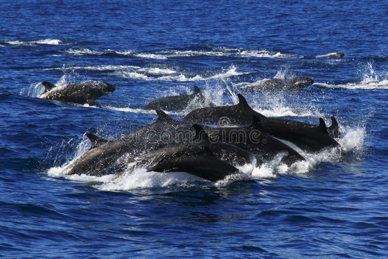 False Killer whales pods royalty free stock photos
