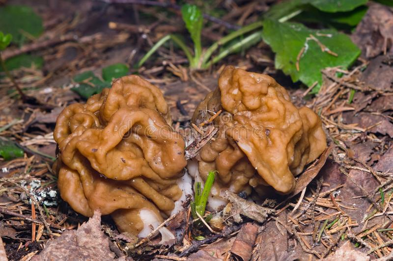 False morel or Gyromitra esculenta spring poisonous mushrooms macro, selective focus, shallow DOF stock images